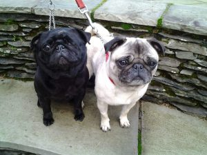 The Pug Dog Welfare & Rescue Association | Rescuing