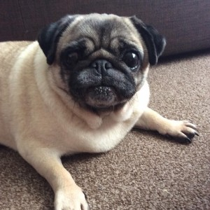 tiny paws pug rescue adopting a pug the pug dog welfare rescue association 5663