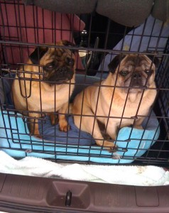 Pug Dogs Bert & Ernie